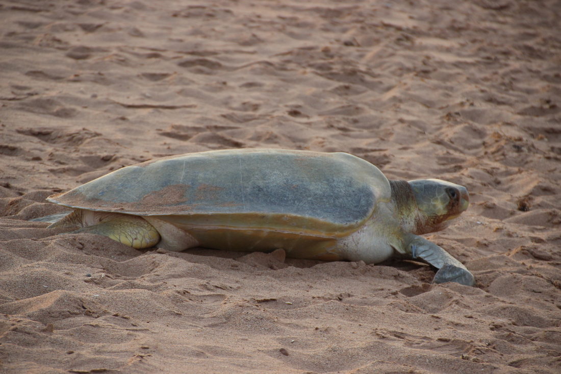 Flatback turtle female, coming to lay her eggs on the beach at Port Hedland.